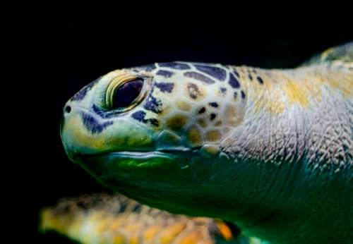 Sea turtle head