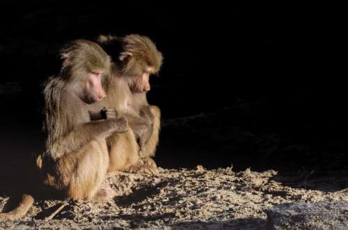 Baboons chilling in the sun