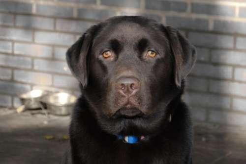 Labrador close up