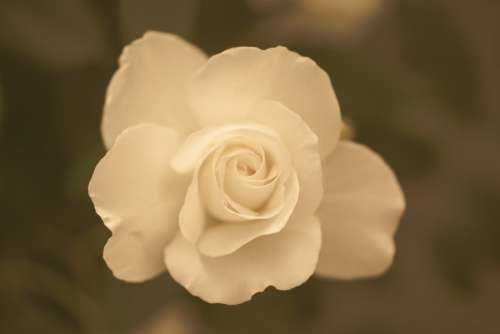 White rose sepia