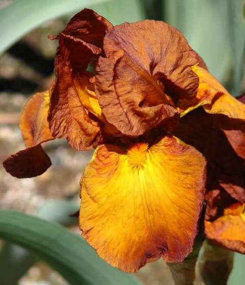 coppery iris