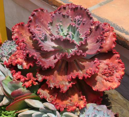 red ruffled succulent