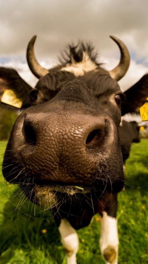 Cow up close