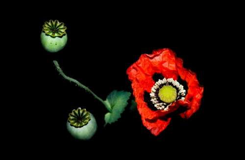 Poppy on a black backdrop
