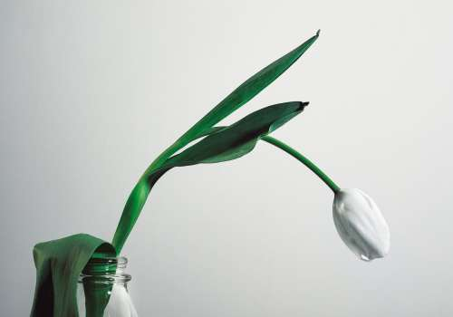 A White Tulip Hangs Over The Bright Background Photo