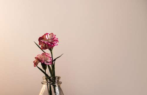 Pink And White Colorful Flower In Negative Space Photo
