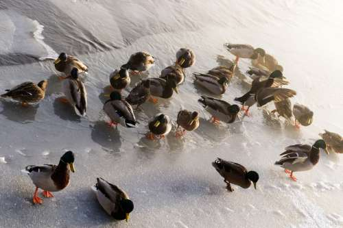 Ducks in Icy Water free photo