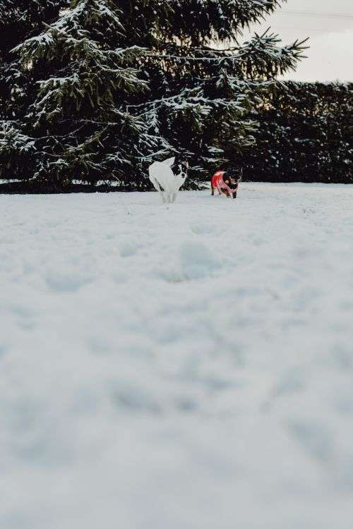 Small dogs play on the snow