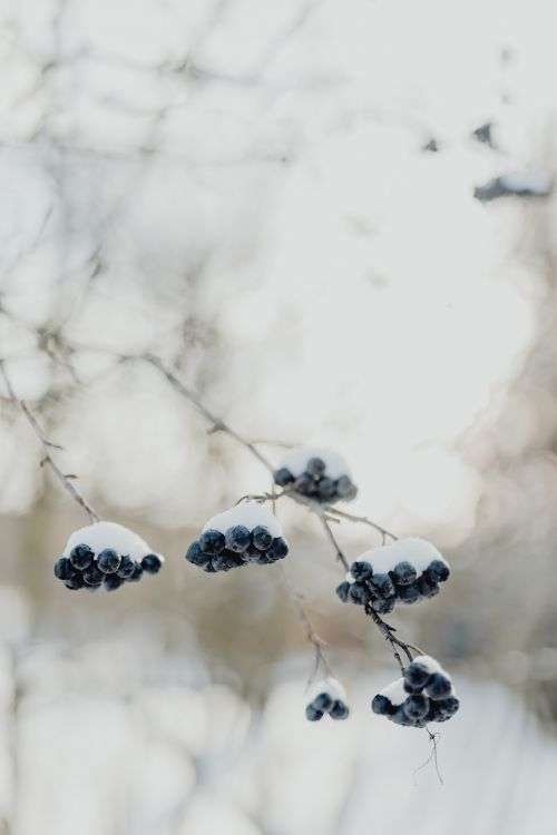 Chokeberry on the branch covered with snow