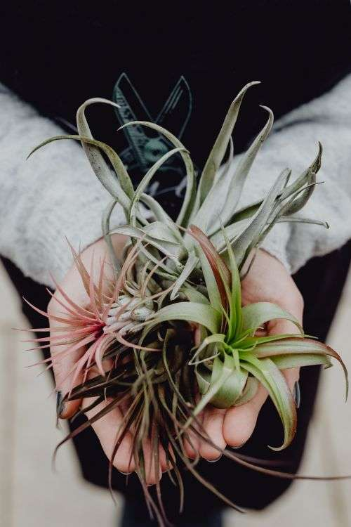 Different types of Air Plants in womens hands