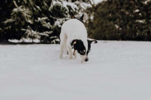 The white and black dog are playing in the garden on the snow