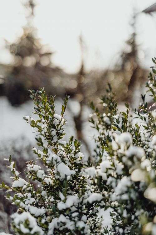 Boxwood covered with fresh snow