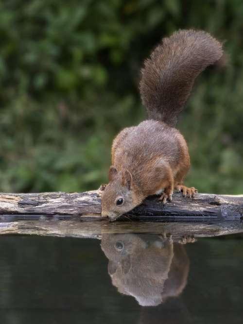 A squirrel drinking