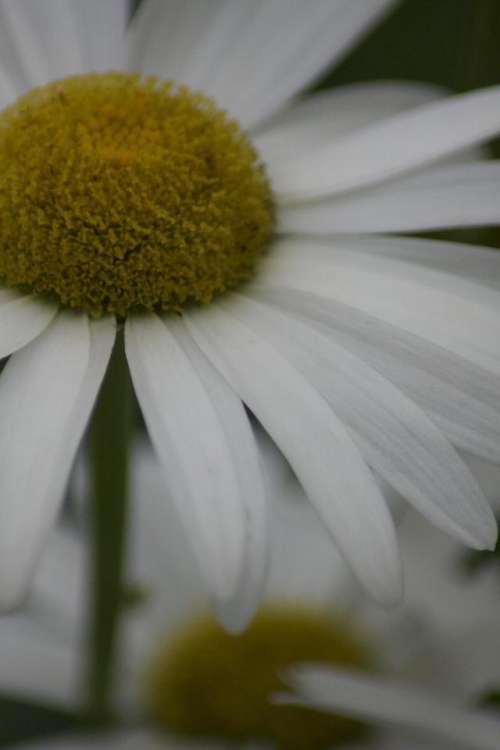 Daisy Flower White Kylemore Abbey Connemara County