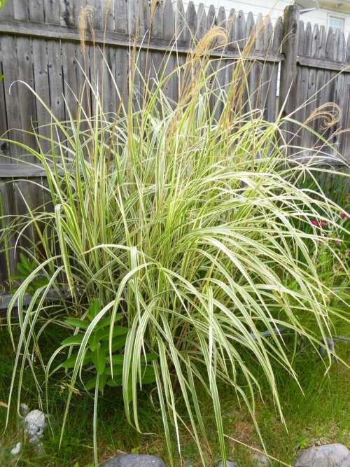Snake plant plants reeds