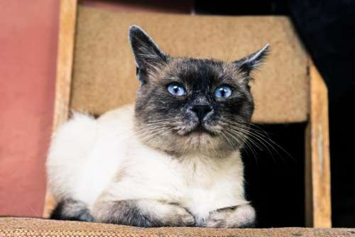Siamese cat feline pet domesticated