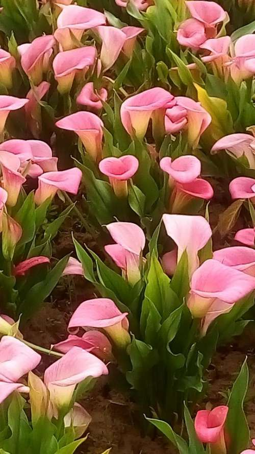 pink Calla Lily lilies flower