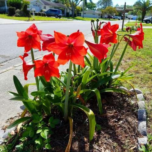 red DescriptionAmaryllis flower bulb