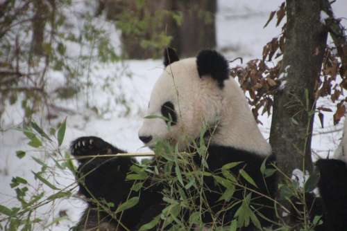 Great Panda Panda Black white Zoo