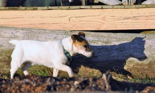 Dog Jack Russell shadow