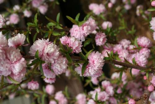 flowering almond pink flowers garden gardening flowering shrubs