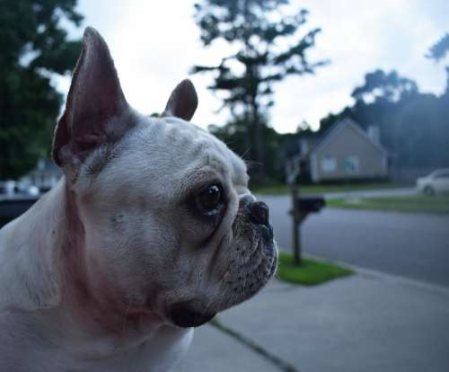 french bulldog dog canine pet cloudy day