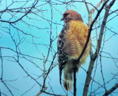 Falcon bird hawk