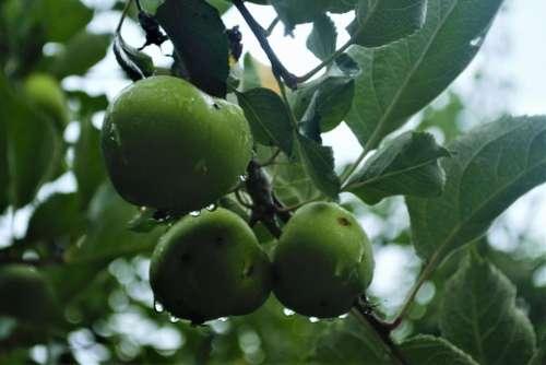 Apple Fruit Green Tree rain