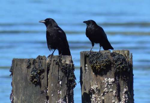 Crows birds pilings ocean