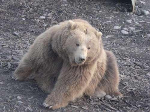 Bear bears brown bear