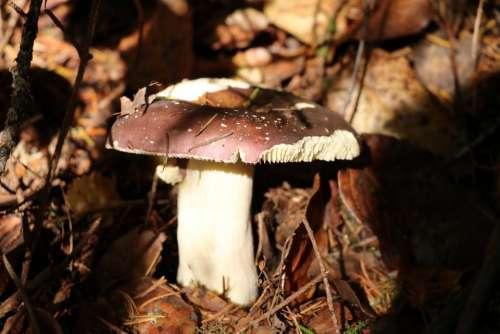 mushroom toadstool fungus woodland