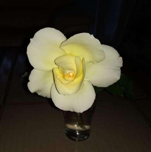 rose perfect dark single flower