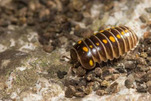 animal Armadillidium beautiful brown bug
