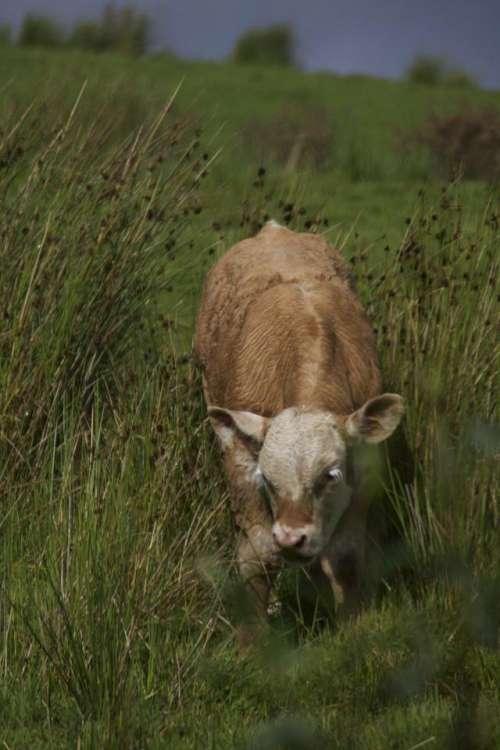 Calf Cow Brown Bovine Farm