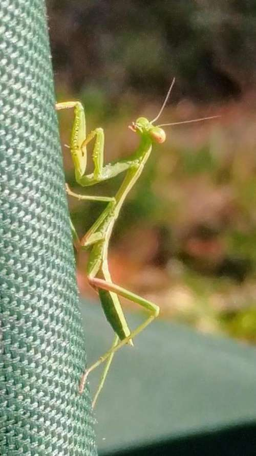 praying mantis green insect predator
