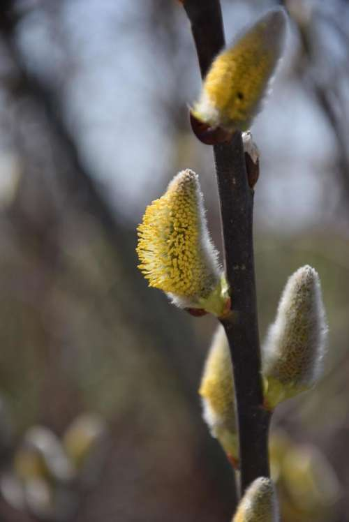 willow catkin willow spring pollen sunshine
