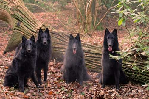 dogs canines groenendaels belgian shepherds domesticated