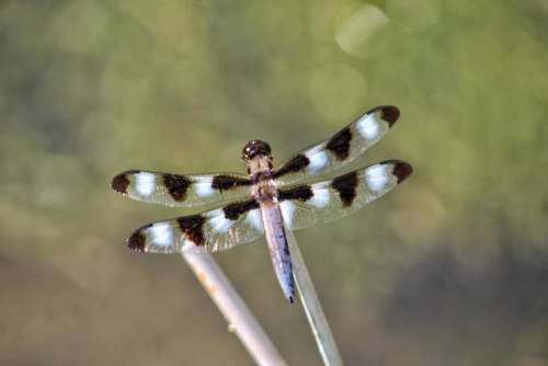 nature insect dragonfly skimmer wings
