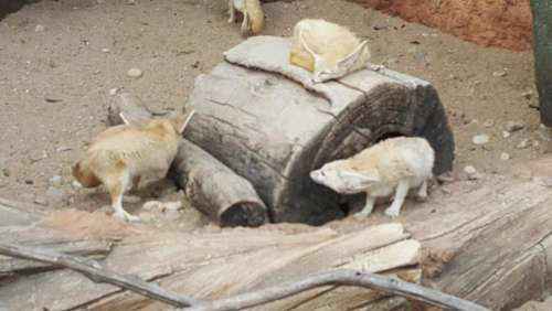 zoo Seoul animals fox