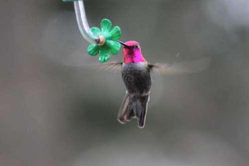 Annas hummingbird bird red