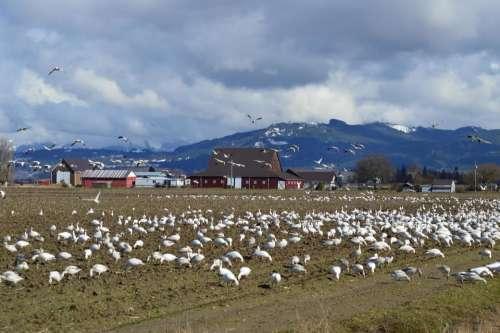 Skagit valley geese snow geese birds farm