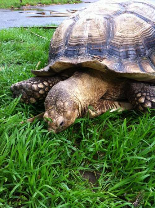 tortoise eating grass lawn pet