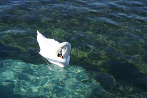 mute swan fowl waterfowl bird