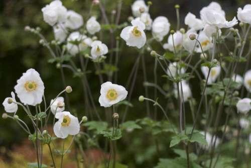 Flower White Victorian Garden Ireland Irish