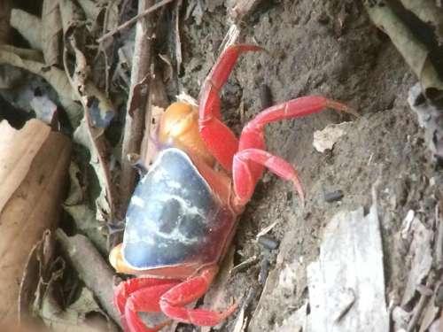 crab Costa Rica rain forest Red leaf