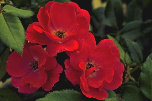 Red Rose Three Bud Green
