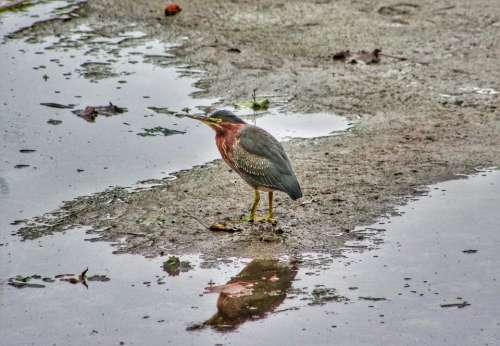 animal heron bird green reflection