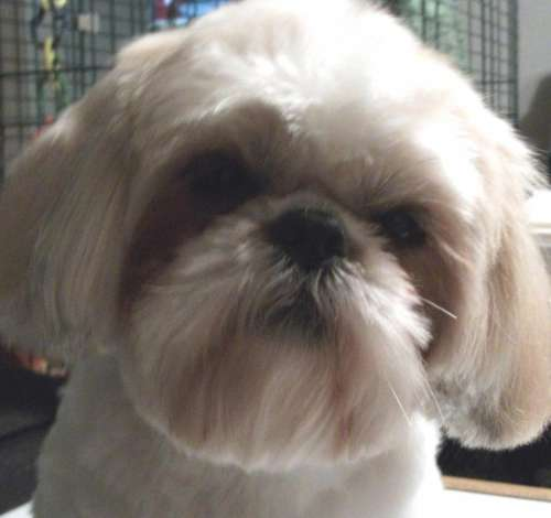 dog canine shih tzu pet portrait