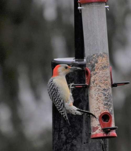 bird Wood Pecker bird feeder