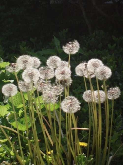 Dandelion Taraxacum Officinale Plant Nature